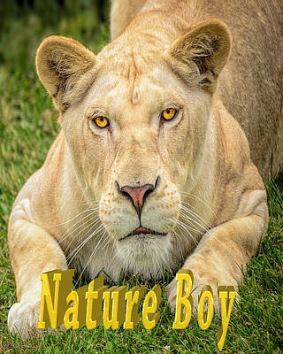 Photograph - Lion Nature Boy by LeeAnn McLaneGoetz McLaneGoetzStudioLLCcom