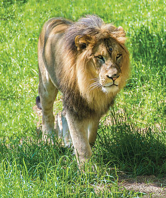 Photograph - Lion On The Prowl by William Bitman