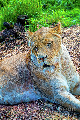 Photograph - Lion Panthera Leo by Chris Thaxter