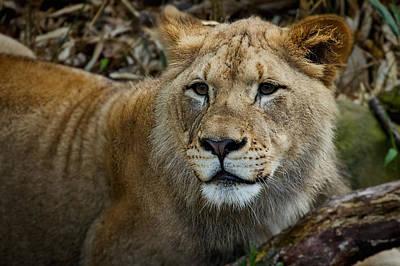 Photograph - Lion Portrait #2 by Stuart Litoff