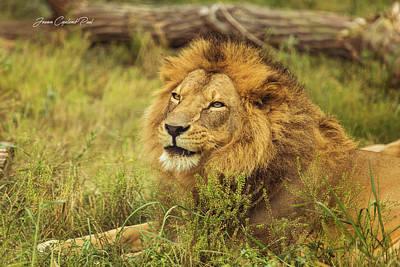 Photograph - Lion Portrait by Joann Copeland-Paul