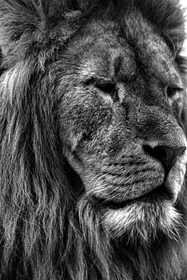 Black And White Photograph - Lion Portrait by Martin Newman