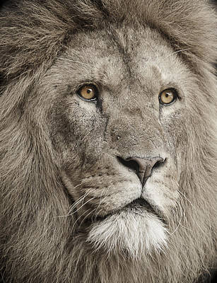 Low-key Photograph - Lion Portrait by Paul Neville