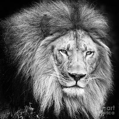 Photograph - Lion Portrait by Sonya Lang