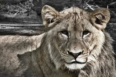 Photograph - Lion Portrait by Stuart Litoff
