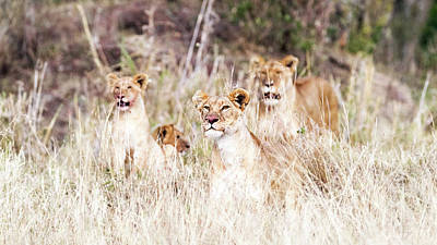 Photograph - Lion Pride Lying In Tall Grass by Susan Schmitz