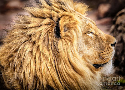 Photograph - Lion Profile by David Millenheft