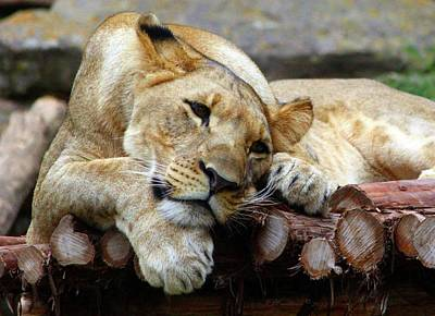 Photograph - Lion Resting by Inspirational Photo Creations Audrey Woods