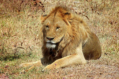 Photograph - Lion Resting From The Heat In Africa by Gill Billington