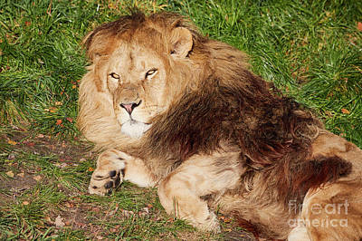 Photograph - Lion Resting In The Sun by Nick Biemans