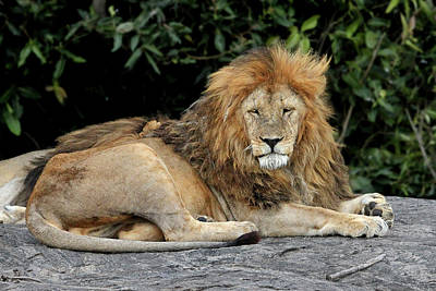 Photograph - Lion Resting On The Rocks In Africa by Gill Billington