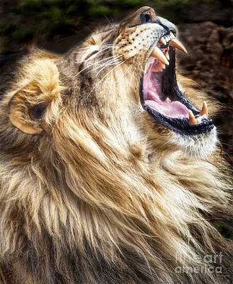 Photograph - Lion Roar by David Millenheft