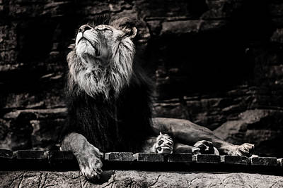 Animals Royalty-Free and Rights-Managed Images - Lion Rock by Martin Newman