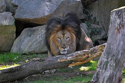 Photograph - Lion Series 14 by Teresa Blanton