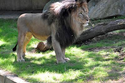 Photograph - Lion Series 15 by Teresa Blanton