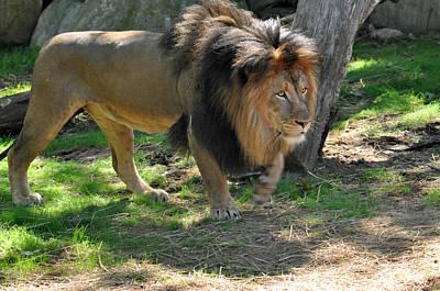 Photograph - Lion Series 16 by Teresa Blanton