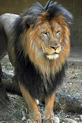 Photograph - Lion Series 17 by Teresa Blanton