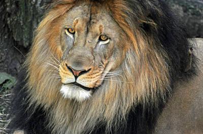 Photograph - Lion Series 18 by Teresa Blanton