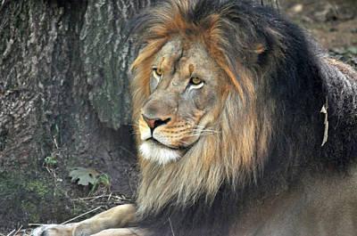 Photograph - Lion Series 19 by Teresa Blanton