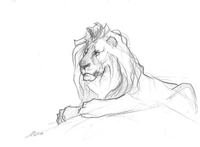 Animals Drawings - Lion sketch by Matthew Withington