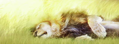 Photograph - Lion Sleeping In Tall Grass by Susan Schmitz