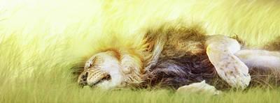 Photograph - Lion Sleeping In Tall Grass by Susan Schmitz