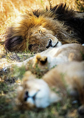 Photograph - Lion Sleeping With Two Lioness by Susan Schmitz