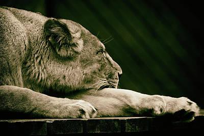 Lion Sleeps Tonight Art Print by Martin Newman