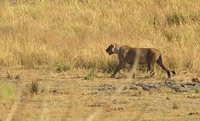 Photograph - Lion Stroll by Jennifer Wheatley Wolf