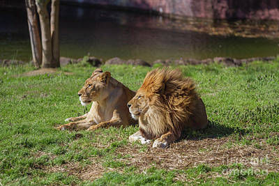 Photograph - Lion Summer Breeze by Karen Jorstad