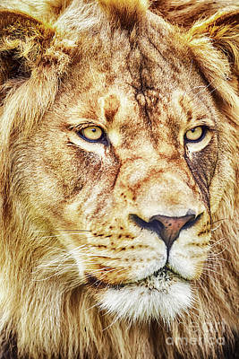 Photograph - Lion-the King Of The Jungle Large Canvas Art, Canvas Print, Large Art, Large Wall Decor, Home Decor by David Millenheft