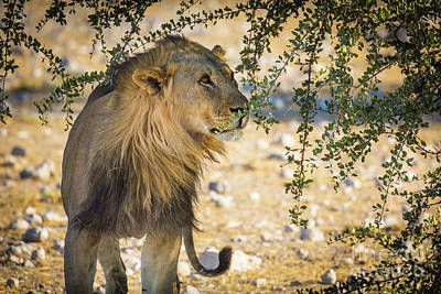Photograph - Lion Under Acacia Tree by Inge Johnsson