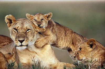 Lion With Cubs Art Print by Michel & Christine Denis-Huot