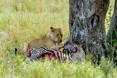 Photograph - Lion With Zebra Kill by Marilyn Burton