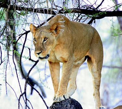 Kenya Digital Art - Lioness - Ready To Pounce by Nancy D Hall