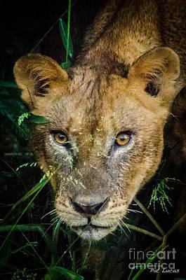Zimbabwe Photograph - Lioness 3 by Pat Lucas