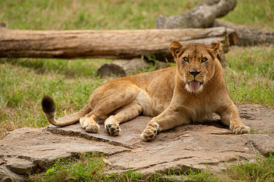 Photograph - Lioness 5 by Joye Ardyn Durham
