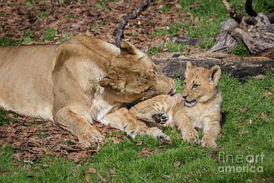 Photograph - Lioness And Cub by Karen Jorstad