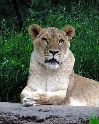 Photograph - Lioness At Rest by George Jones