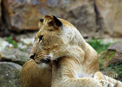Photograph - Lioness by Inspirational Photo Creations Audrey Woods