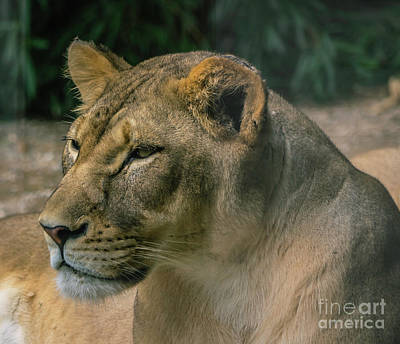 Photograph - Lioness by Cathy Donohoue