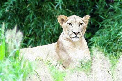 Photograph - Lioness by Ed Taylor