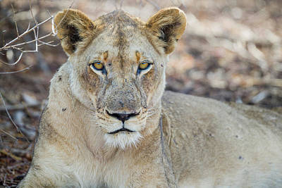 Photograph - Lioness by Fran Gallogly