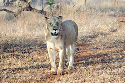 Photograph - Lioness In Kruger by Pravine Chester