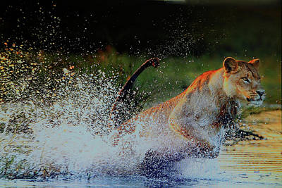 Photograph - Lioness In Motion by Dennis Baswell