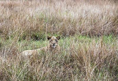 1920s Flapper Girl - Lioness laying Queen Elizabeth National Park, Uganda by Karen Foley