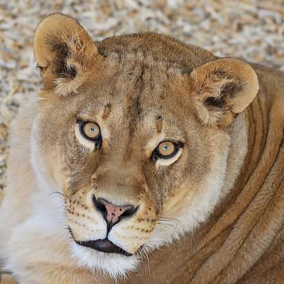 Digital Art -  Lioness by OLena Art Brand