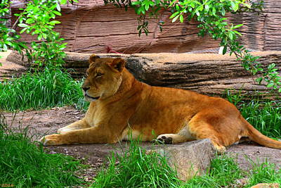Photograph - Lioness by Lisa Wooten