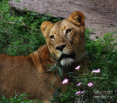 Photograph - Lioness Love by Kami Catherman