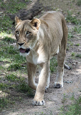 Photograph - Lioness On The Prowl by William Bitman
